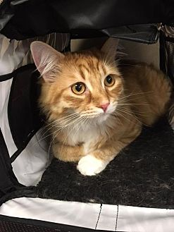 Adopt A Pet :: Chai  - Edmonton, AB