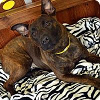 Adopt A Pet :: Beverly - Toledo, OH