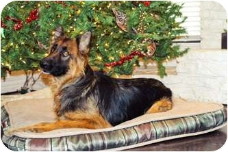 German Shepherd Dog Dog for adoption in Dripping Springs, Texas - Venti