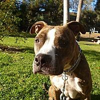 Adopt A Pet :: MARLEY - COURTESY - Los Angeles, CA