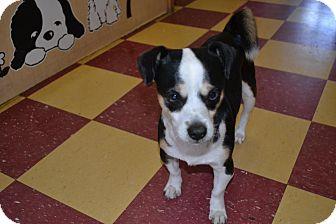 Rat Terrier/Dachshund Mix Dog for adoption in Tavares, Florida - Tiny Tim