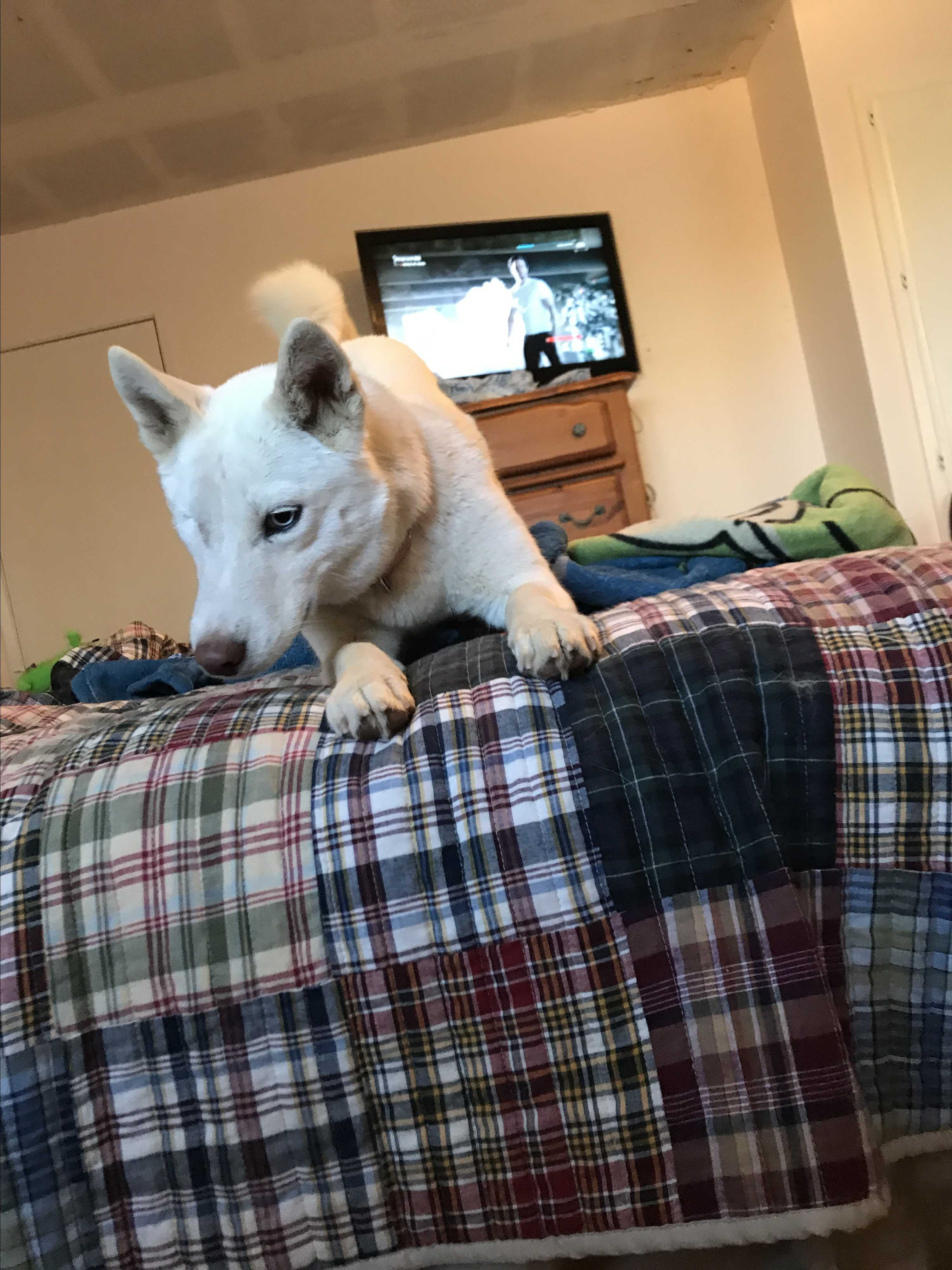 Husky puppies for sale yucca valley - Husky Puppies For Sale Yucca Valley 51