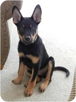 Naperville Il German Shepherd Dog Meet Ryder A Pet For Adoption