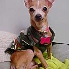 Adopt A Pet :: Chance - 6 lbs