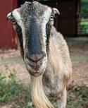 Adopt a Pet :: Reba McEntire - Los Angeles, CA -  Goat