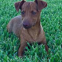 Adopt A Pet :: Zuma - Snyder, TX
