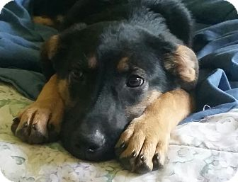 German Shepherd Dog Mix Puppy for adoption in Portland, Maine - Sabrina