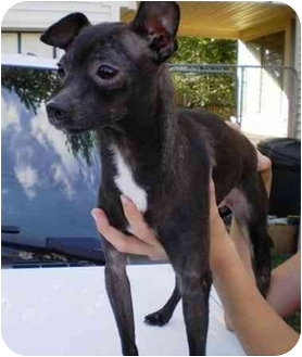 Italian Greyhound Chihuahua Mix