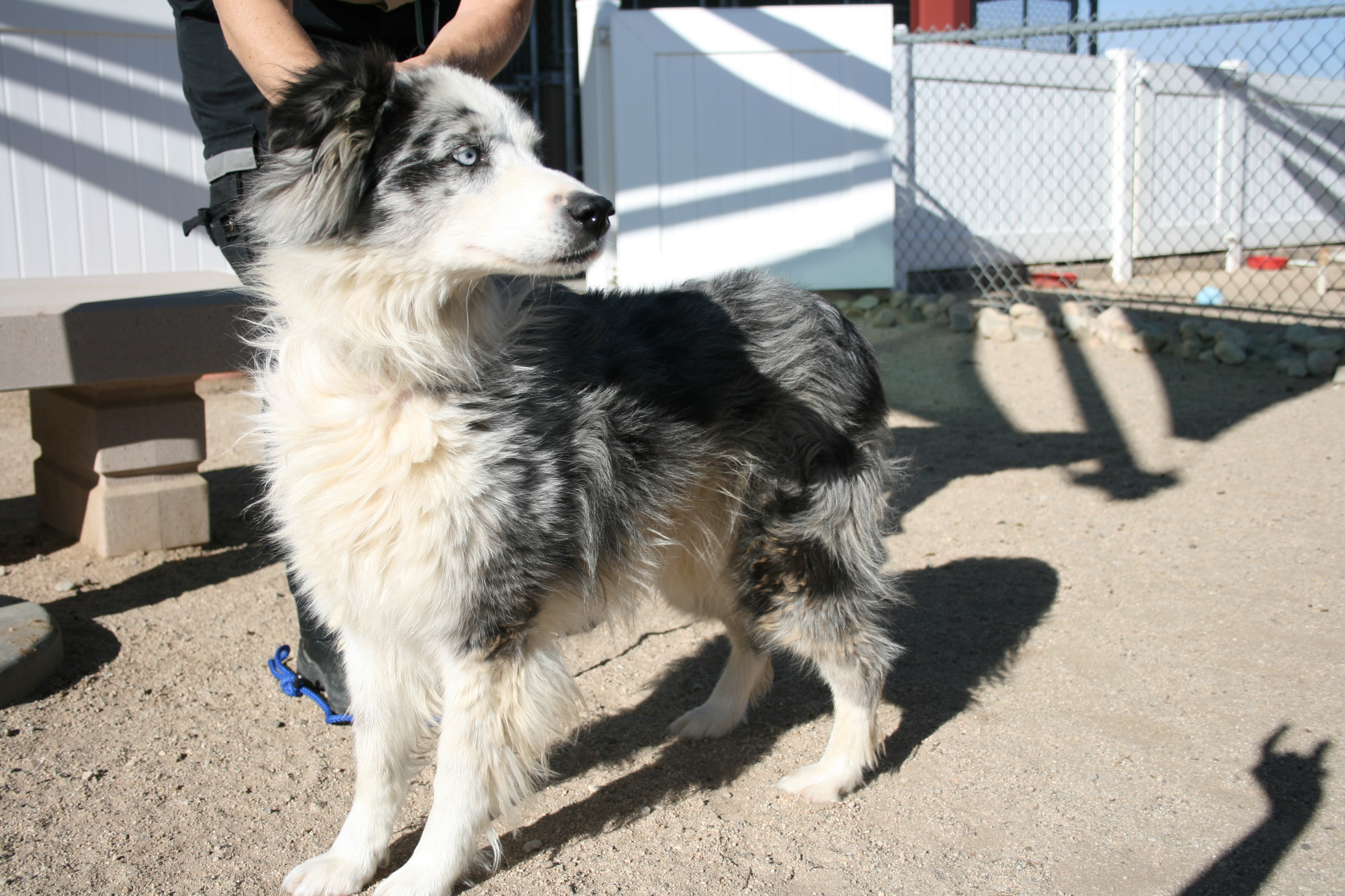Husky puppies for sale yucca valley - Yucca Valley Ca Australian Shepherd Meet Bonnie Ray Clyde A Dog For Adoption