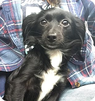 Papillon/Chihuahua Mix Dog for adoption in Baltimore, Maryland - Lil' Noir
