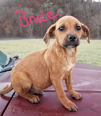 Ararat, VA - Boxer  Meet Bruce a Pet for Adoption