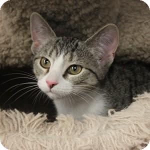 Domestic Mediumhair Kitten for adoption in Naperville, Illinois - Praline