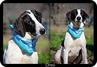 Hound (Unknown Type)/Labrador Retriever Mix Dog for adoption in Wilmington, Delaware - OREO
