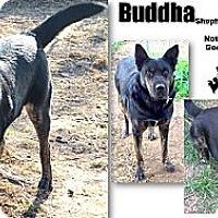 Adopt A Pet :: Buddha - Battle Creek, MI