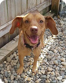 Beagle/Dachshund Mix Dog for adoption in Freeport, Maine - Rubi