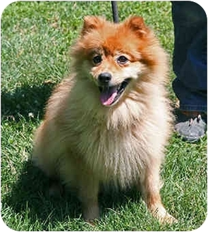 Finnish Spitz Dog Adoption