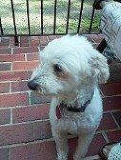 Maltese/Poodle (Standard) Mix Dog for adoption in Hampton, Virginia - LUCKY