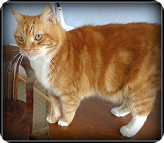 American Shorthair Cat for adoption in Bedford, Virginia - Marty FIV+