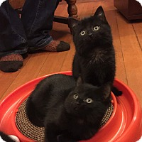 Adopt A Pet :: CHRISTMAS KITTIES - Putnam, CT