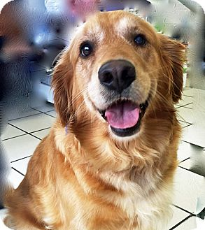 Golden Retriever Mix Dog for adoption in BIRMINGHAM, Alabama - Willow II