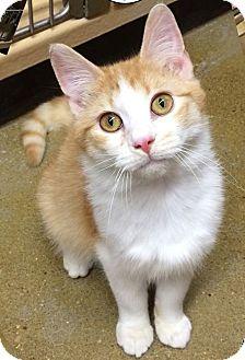 Domestic Shorthair Kitten for adoption in Covington, Kentucky - Squash