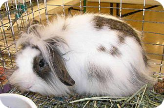 American Fuzzy Lop Mix for adoption in Colorado Springs, Colorado - Sassy