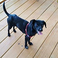 Chihuahua Mix Dog for adoption in Gretna, Florida - Lyly