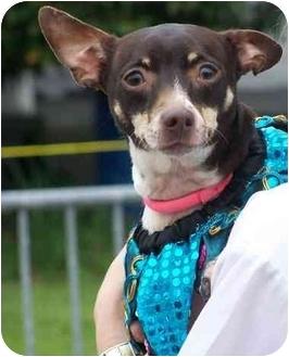 Miniature Pinscher/Rat Terrier Mix Dog for adoption in Portsmouth, Rhode Island - Cookie