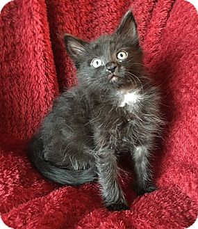 Domestic Longhair Kitten for adoption in Tampa, Florida - Basil