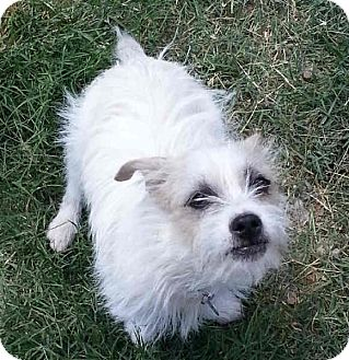 Jack Russell Terrier Mix Dog for adoption in Phoenix, Arizona - DUCKY