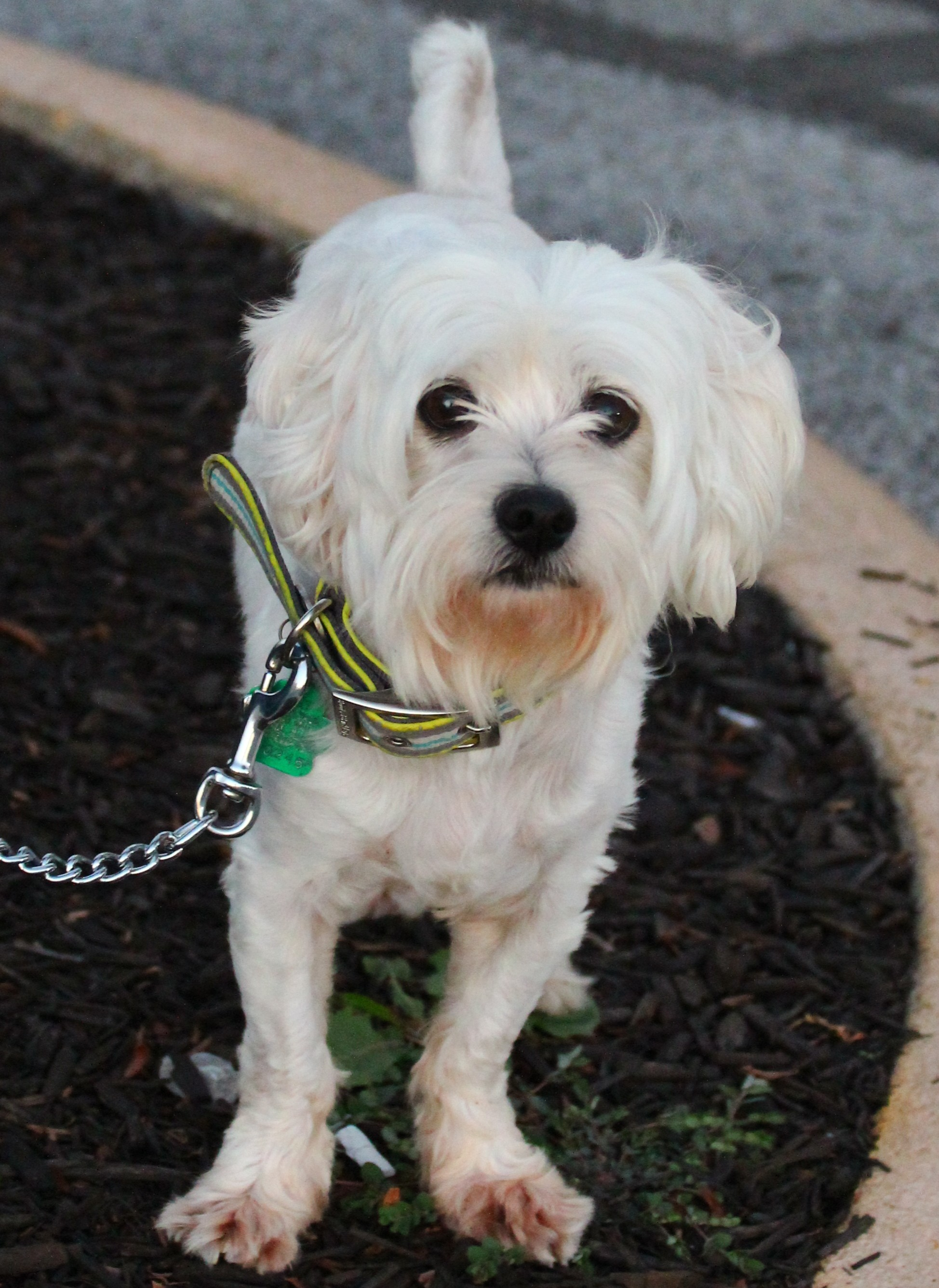 Lafayette, IN - Maltese  Meet Dodge a Pet for Adoption