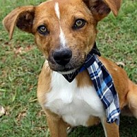 Hound (Unknown Type) Mix Dog for adoption in Norman, Oklahoma - Drumstick