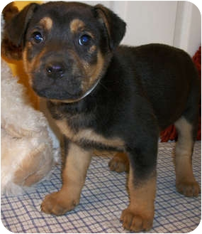 Struthers Oh German Shepherd Dog Meet Scooby A Pet For Adoption