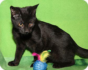 Domestic Shorthair Cat for adoption in Marietta, Ohio - Sam (Neutered)
