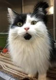 Domestic Longhair Cat for adoption in Livonia, Michigan - Louisa
