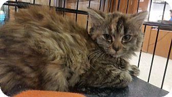 Domestic Mediumhair Kitten for adoption in Medina, Ohio - Sammy
