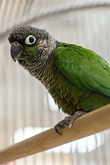 Conure for adoption in Elizabeth, Colorado - Clover