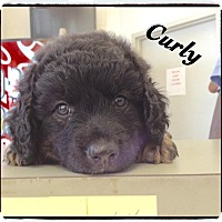 Adopt A Pet :: Curly - Tampa, FL
