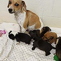 Beagle/Chihuahua Mix Puppy for adoption in Chantilly, Virginia - Diamond's Pup 1