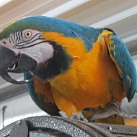 Adopt A Pet :: Cappy - Edgerton, WI