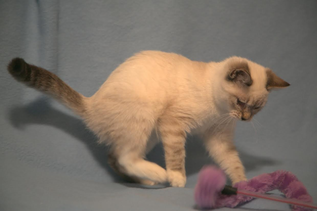 Albany, NY - Siamese. Meet Buttermilk a Cat for Adoption.