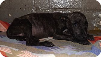 Pit Bull Terrier/Labrador Retriever Mix Puppy for adoption in Henderson, North Carolina - Little Man