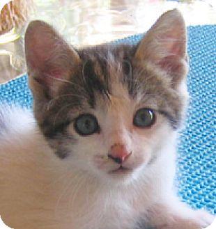 Domestic Shorthair Kitten for adoption in Garland, Texas - Herb