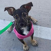 Adopt A Pet :: Bodie - Snyder, TX
