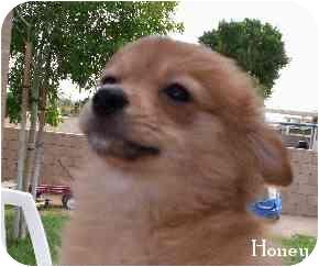 Eugene Or Pomeranian Meet Honey A Pet For Adoption