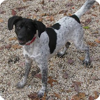 Pointer Mix Dog for adoption in Voorhees, New Jersey - Tianna