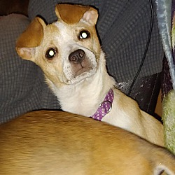 Chihuahua Puppies for Sale in Vermont - Adoptapet com