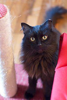 Adopt A Pet :: McSnuggleface the Lapcat  - Troy, MI