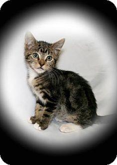 Domestic Shorthair Kitten for adoption in Bradenton, Florida - Jade