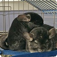 Adopt A Pet :: Apollo & Patrone - CT - Granby, CT